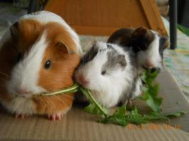 Foto 5 Meerschweinchen und Zwergkaninchen abzugeben!