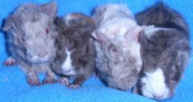 Foto 2 Meerschweinchen süße Babys abzugeben!