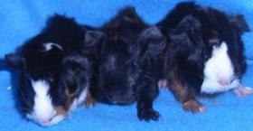Foto 3 Meerschweinchen süße Babys abzugeben!