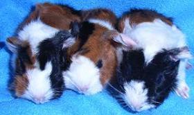 Foto 4 Meerschweinchen süße Babys abzugeben!