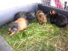 Meerschweinchen - Glatthaar und Teddys