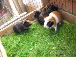 Foto 2 Meerschweinchen - Glatthaar und Teddys