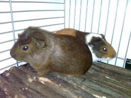 Foto 2 Meerschweinchen + K�fig zu verkaufen