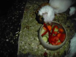 Foto 2 Meerschweinchenbaby 6 Wochen alt Weibchen Lunkaryamix