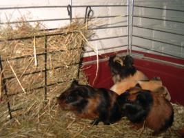 Foto 2 Meerschweinchenbabys