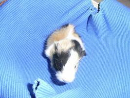 Foto 3 Meerschweinchenbabys