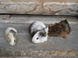 Foto 2 Meerschweinchenbabys abzugeben!