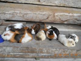 Foto 3 Meerschweinchenbabys abzugeben!