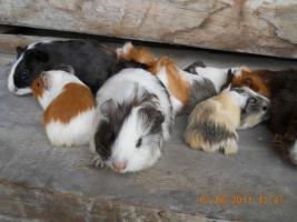 Foto 4 Meerschweinchenbabys abzugeben!