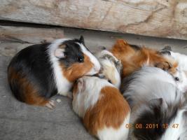 Foto 5 Meerschweinchenbabys abzugeben!