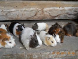 Foto 6 Meerschweinchenbabys abzugeben!