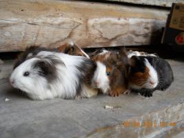 Foto 7 Meerschweinchenbabys abzugeben!