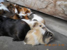 Foto 8 Meerschweinchenbabys abzugeben!