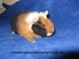 Foto 2 Meerschweinchenbabys mädels