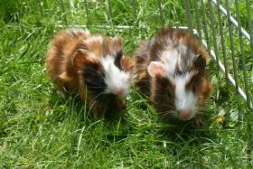 Foto 2 Meerschweinchenbabys,3-farbig.