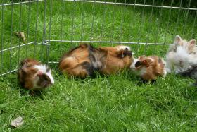 Foto 4 Meerschweinchenbabys,3-farbig.