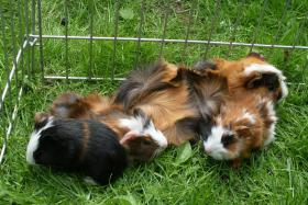 Foto 7 Meerschweinchenbabys,3-farbig.