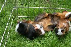 Foto 9 Meerschweinchenbabys,3-farbig.