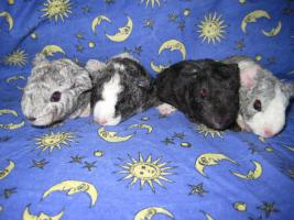 Foto 5 Meerschweinchenjungtiere aus liebevoller Hobbyzucht!