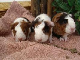 Foto 4 Meerschweinchenkinder /-babys suchen ein neues Heim