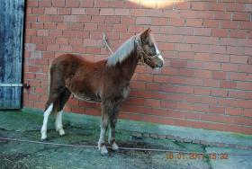 Foto 2 Mehrere Ponys günstig