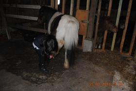 Foto 4 Mehrere Ponys günstig