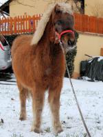 Mehrere kinderliebe Shetland-Ponys günstig abzugen!