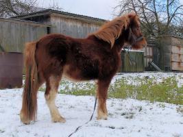 Foto 2 Mehrere kinderliebe Shetland-Ponys günstig abzugen!