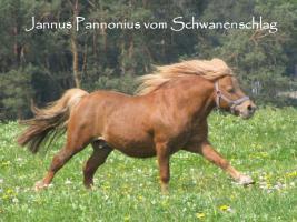 Foto 3 Mehrere kinderliebe Shetland-Ponys günstig abzugen!
