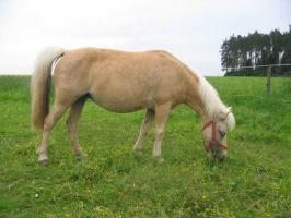 Foto 4 Mehrere kinderliebe Shetland-Ponys günstig abzugen!