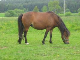 Foto 5 Mehrere kinderliebe Shetland-Ponys günstig abzugen!