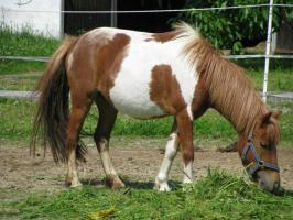 Foto 6 Mehrere kinderliebe Shetland-Ponys günstig abzugen!