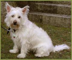 Mein Steckbrief : Gilbert, m�nnlich, 3 Jahre, 32 cm White Westhighland Terrier-Mix kastriert gechipt