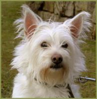 Foto 2 Mein Steckbrief : Gilbert, m�nnlich, 3 Jahre, 32 cm White Westhighland Terrier-Mix kastriert gechipt