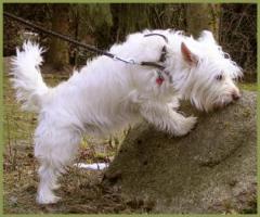 Foto 3 Mein Steckbrief : Gilbert, m�nnlich, 3 Jahre, 32 cm White Westhighland Terrier-Mix kastriert gechipt