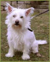 Foto 4 Mein Steckbrief : Gilbert, m�nnlich, 3 Jahre, 32 cm White Westhighland Terrier-Mix kastriert gechipt