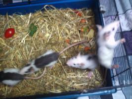 Meine drei Ratten jungs und mädels suchen neues zu hause