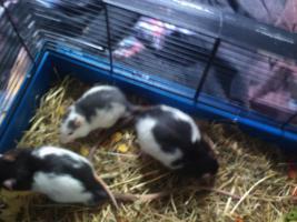 Foto 2 Meine drei Ratten jungs und mädels suchen neues zu hause