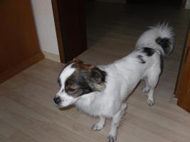 Michlingshund