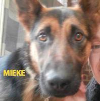 Foto 2 Mieke Deutscher Schaferhund (Stichting Binx)