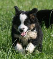 Foto 5 Mini Aussie Rüden - Miniature Australian Shepherd