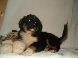 Foto 3 Mini Australian Shepherd Welpen