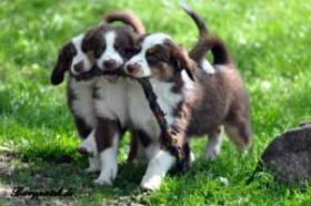 Mini Australian Shepherd Welpen in red tri