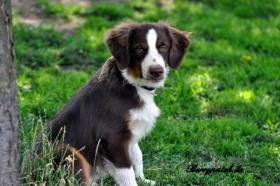 Foto 3 Mini Australian Shepherd Welpen in red tri