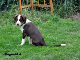 Foto 4 Mini Australian Shepherd Welpen in red tri