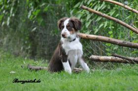 Foto 5 Mini Australian Shepherd Welpen in red tri