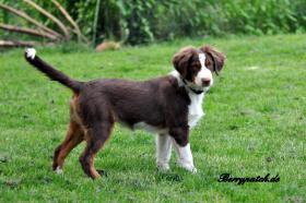 Foto 6 Mini Australian Shepherd Welpen in red tri