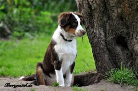 Foto 7 Mini Australian Shepherd Welpen in red tri