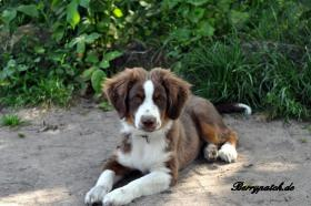 Foto 10 Mini Australian Shepherd Welpen in red tri
