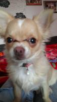 Foto 2 Mini Chihuahua